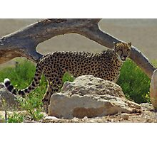 Posing Cheetah. Photographic Print