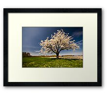 Single blossoming tree in spring. Framed Print