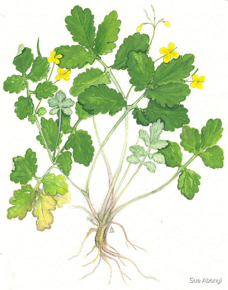 Greater celandine - Chelidonium majus by Sue Abonyi