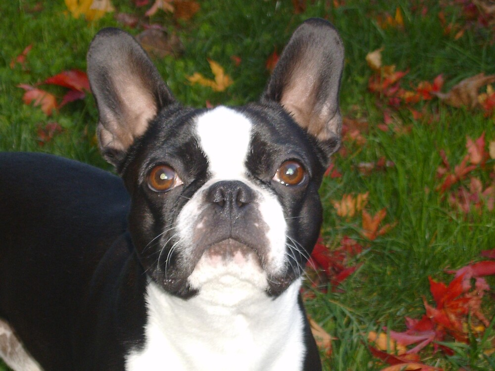 my angel(((dressed up as a Boston Terrier)))) by sneezzee