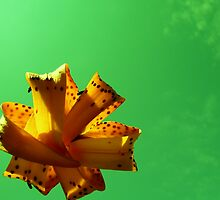 Floating Lily by Natania Rogers