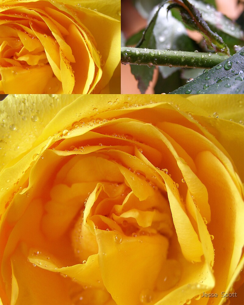yellow roses by Jesse  Scott