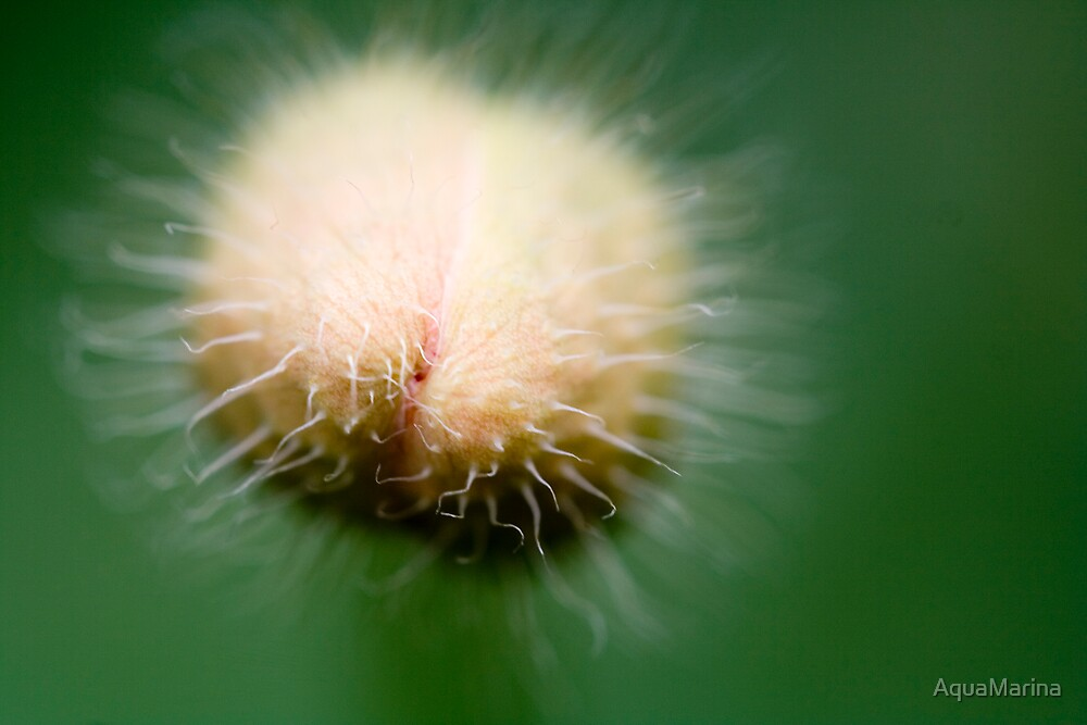 Poppy Bud by AquaMarina