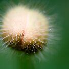 Poppy Bud by AquaMarina