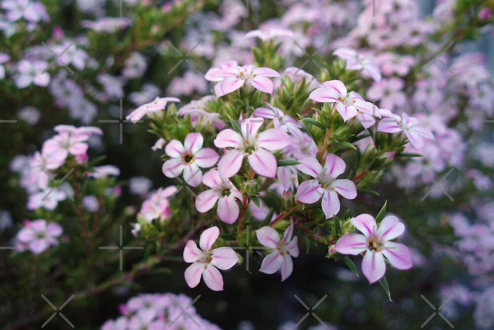 Pink Diosma in Bloom by georgiegirl