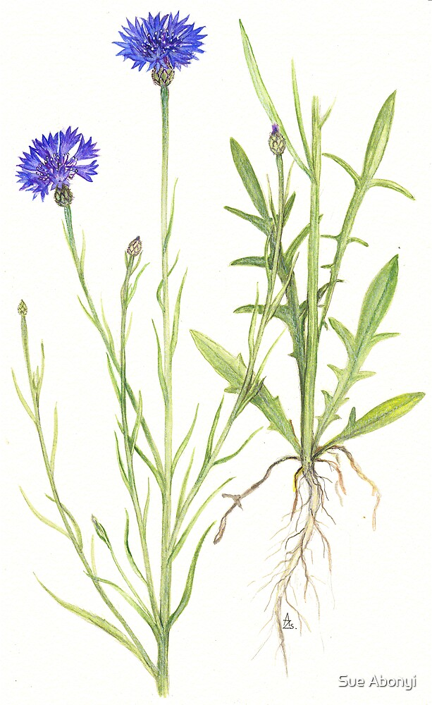 Blue Cornflower - Centaurea cyanus by Sue Abonyi