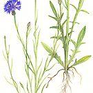 Blue Cornflower - Centaurea cyanus by Sue Abonyi