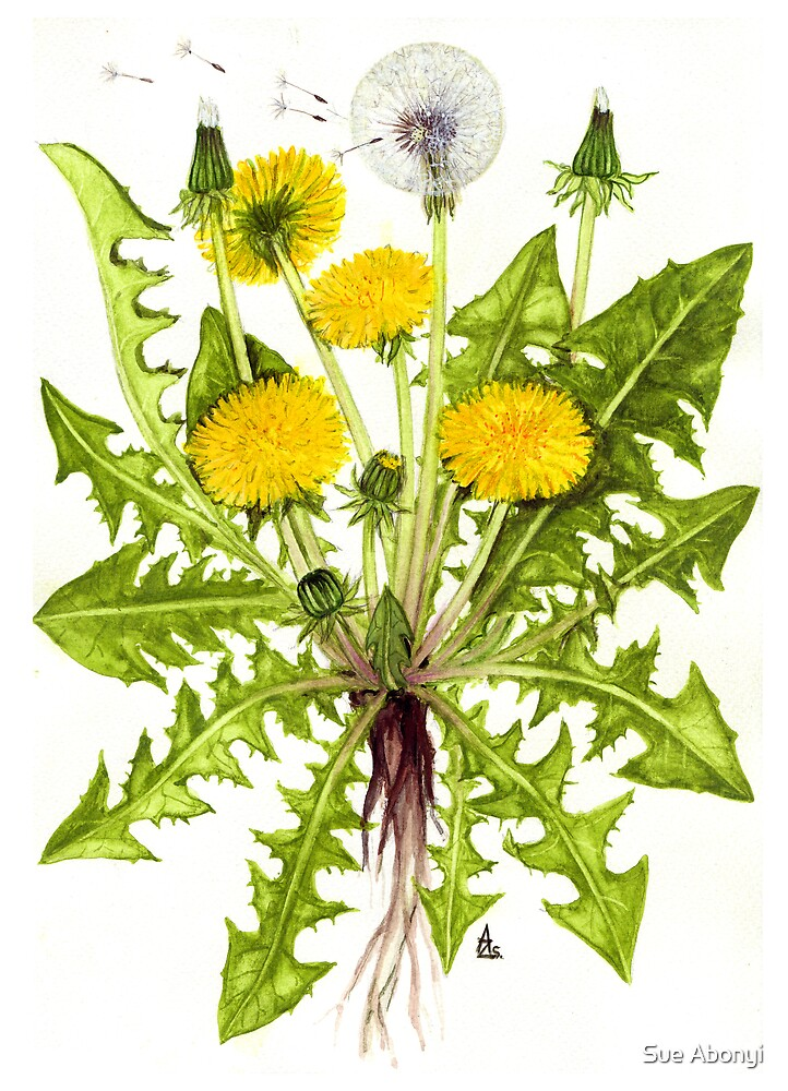 Dandelion -  Taraxacum officinale by Sue Abonyi