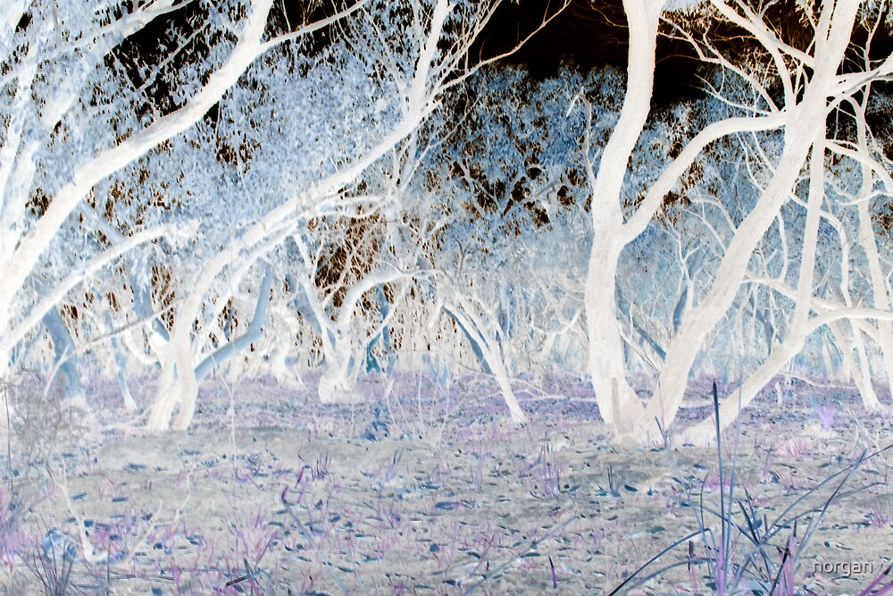 Ghost Gums After Fire by norgan
