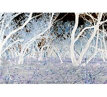 Ghost Gums After Fire Photographic Print