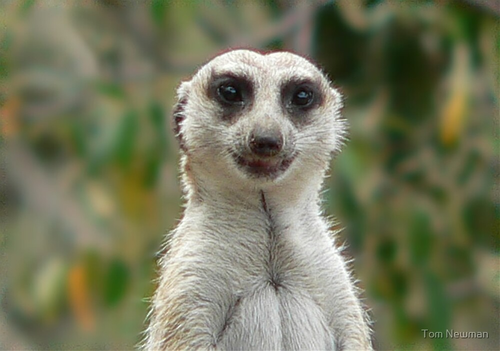 Meerkat II by Tom Newman