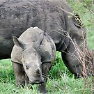 UP CLOSE WITH RHINO BABY AND MOTHER - White Rhinoceros - Ceratotherium sumum  by Magriet Meintjes