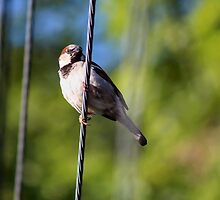 Bird on a Wire by Keala