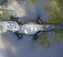 crocodile by catalina acosta