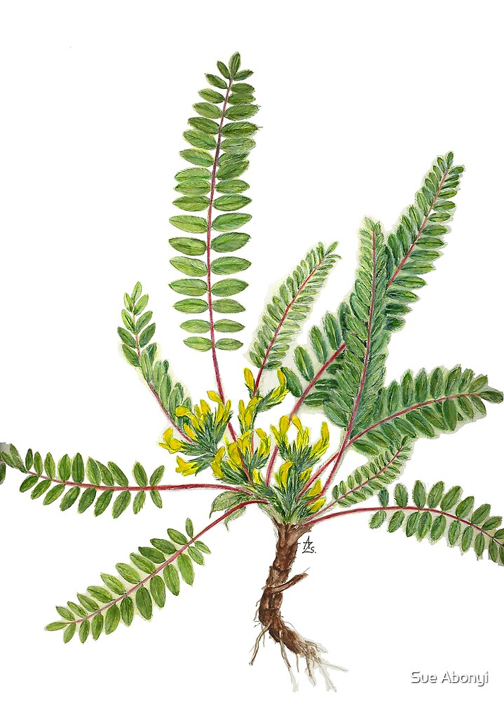 Goat's-thorn - Astragalus exscapus by Sue Abonyi