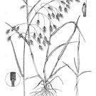 Cheat Grass - Bromus secalinus by Sue Abonyi