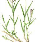 Bermuda Grass - Cynodon dactylon by Sue Abonyi
