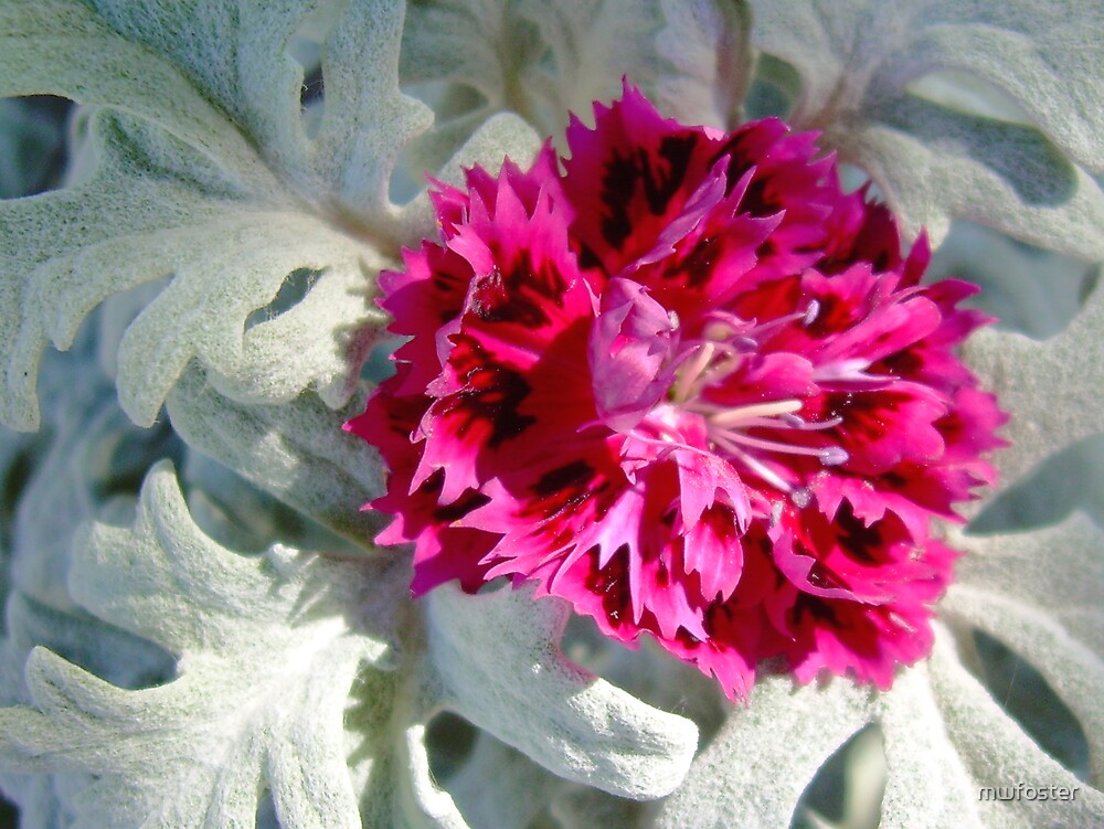 Carnation with Dusty Miller by mwfoster