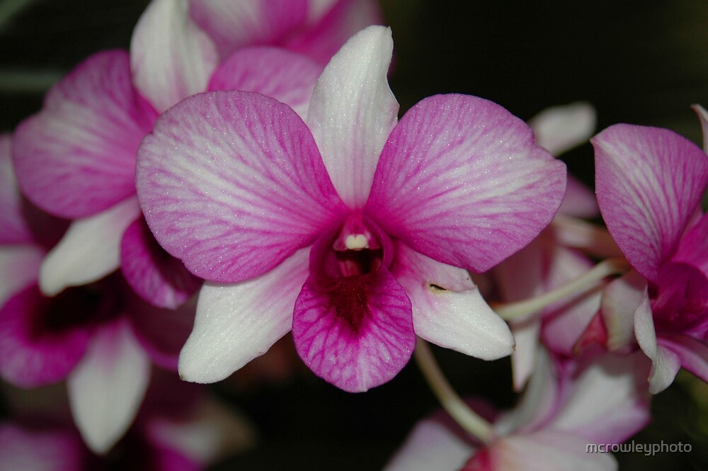 Singing Orchid by mcrowleyphoto