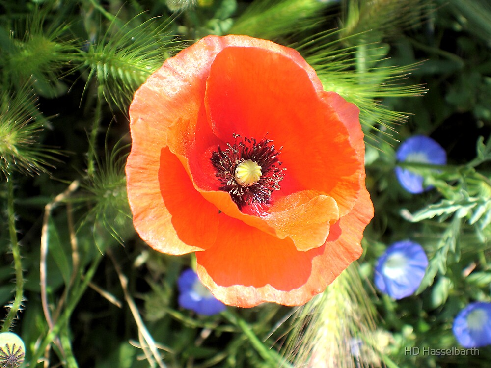 Red Poppy - Morocco by HD Hasselbarth
