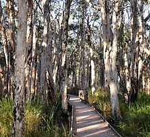 Tea tree Boardwalk by Woodgate
