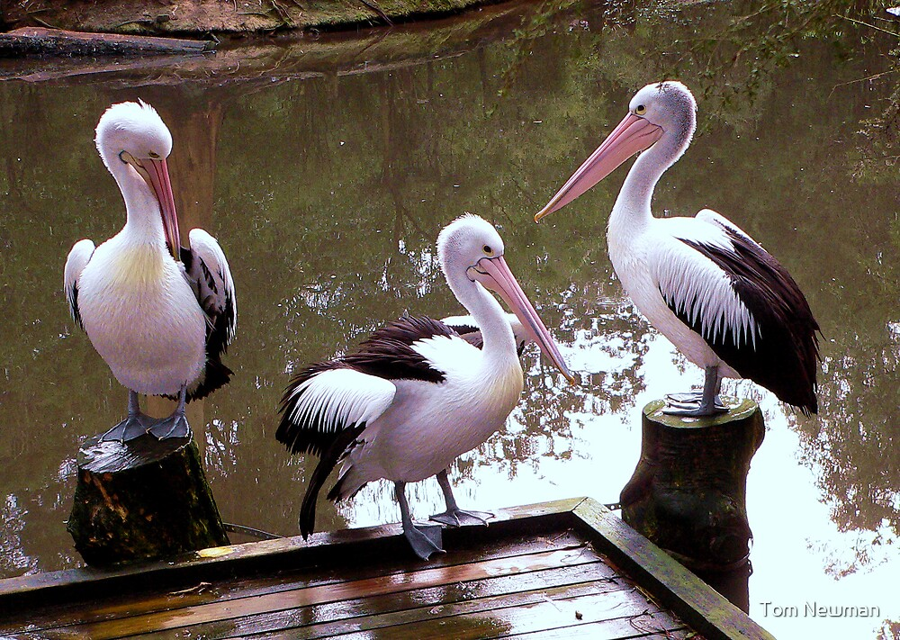 Pelican Meet by Tom Newman