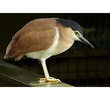 Night Heron Photographic Print