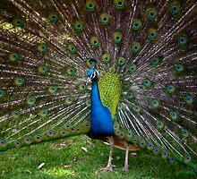 Peacock by bobbijo07