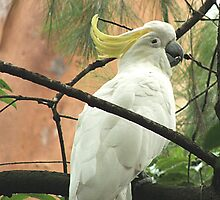 SULPHUR CRESTED COCKATOO by magnette55