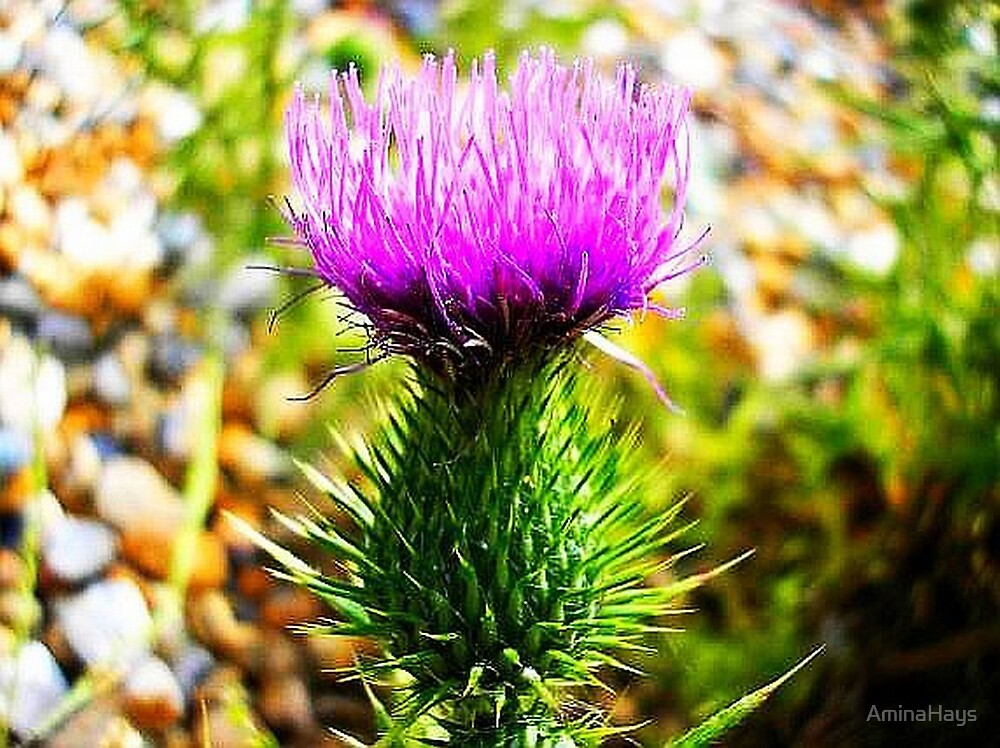 Thistle by AminaHays