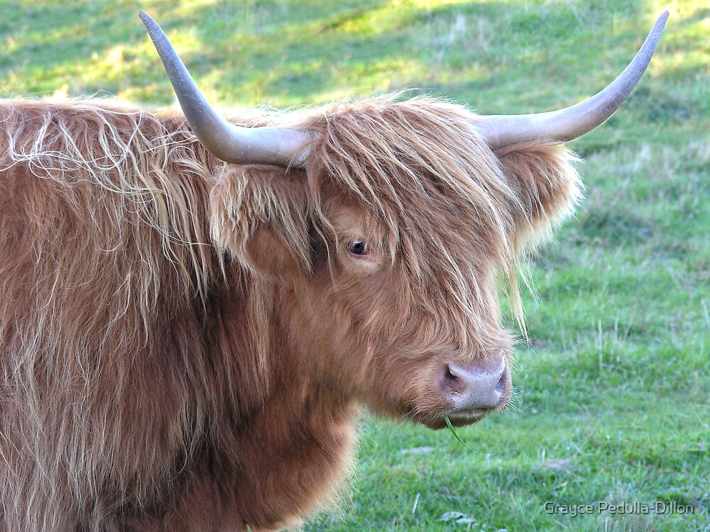 Scottish Highlander Cattle by Grayce Pedulla-Dillon