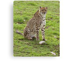 Young male Cheetah. Canvas Print