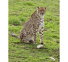 Young male Cheetah. Photographic Print