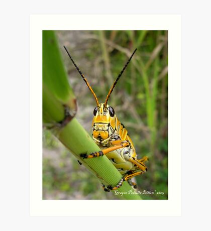 Lubber Grasshopper Art Print