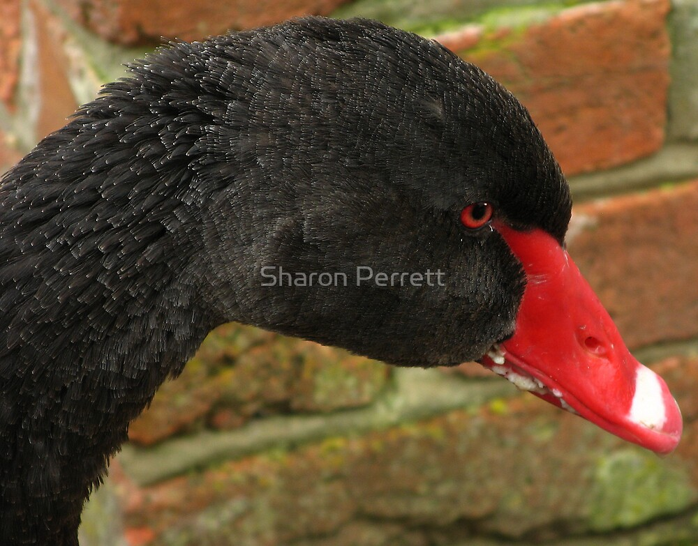 Profile of a black swan by Sharon Perrett