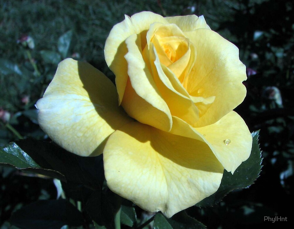 Yellow Rose by PhylHnt