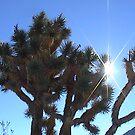 Joshua Tree, Sundown by cato