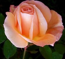 Dew on my peach rose..... by ShellySays