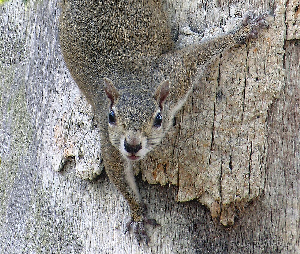 Curious Grey Squirrel by Grayce Pedulla-Dillon