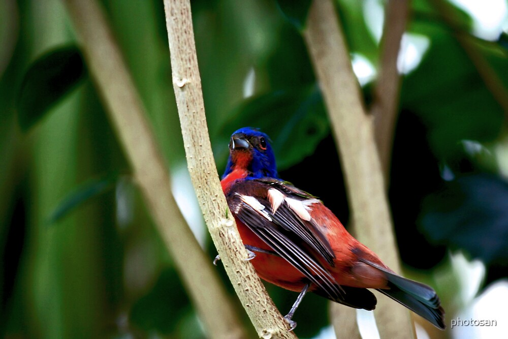 Painted Bunting by photosan