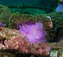 Anemone in current by Greg Birkett
