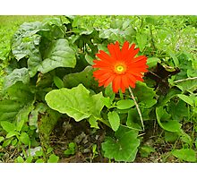 The Last Gerber Daisy Photographic Print