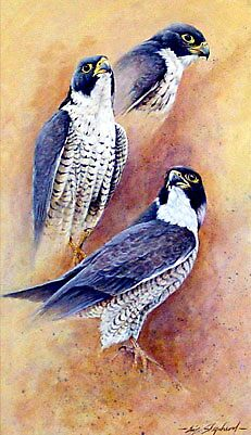 Falcon Studies (Original Sold) by eric shepherd
