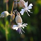 Elegant Weed (Bladder Campion) by goddarb