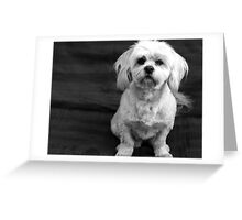 Little Maltese Shitzu Greeting Card