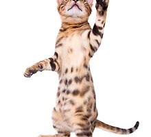 Bengal Kitten Waving by idapix