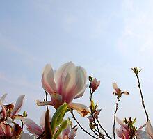 Magnolia by Rudolf