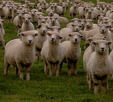 Sheep, NZ by Rudolf