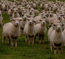 Sheep, NZ by Rudolf