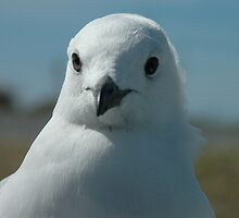 Seagull, NZ by Rudolf